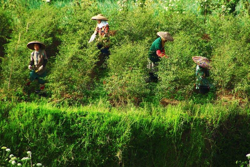 Erwtenlandbouwer Traditional In West Java, Indonesië stock foto