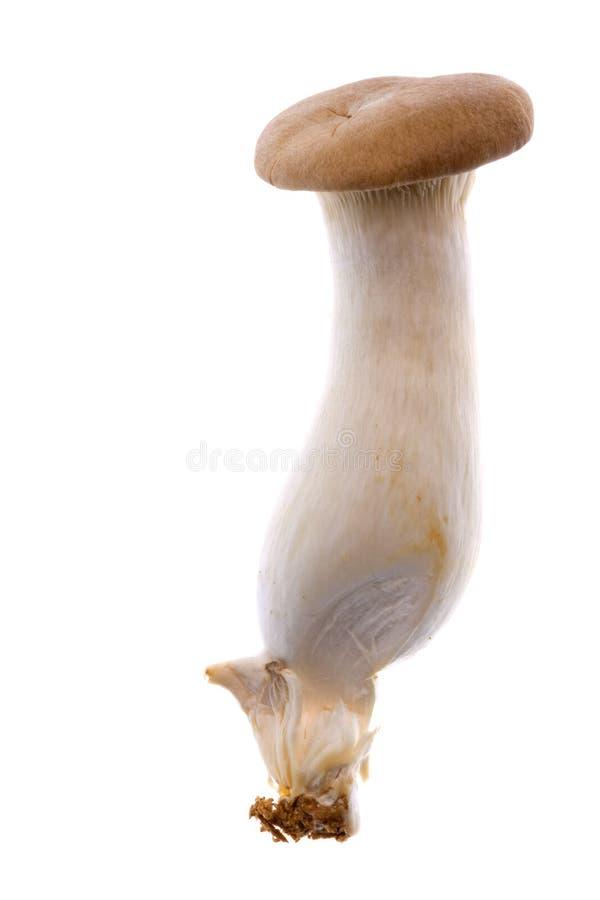 Eryngii Mushroom Isolated. Isolated image of an Eryngii Mushroom stock image