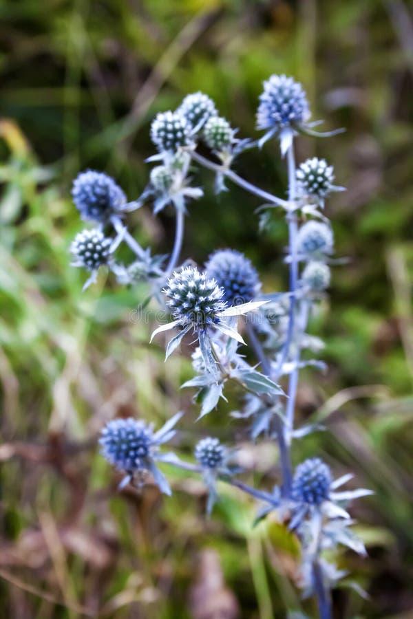 Eryngium blauwe eryngo, het vlakke overzeese hulstbloem groeien op weide stock foto