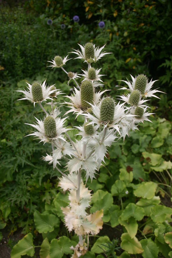 Eryngium flowering in garden. Eryngium plant flowering in a garden. Background is dark with green foliage making the pale grey foliage of the plant stand out royalty free stock images