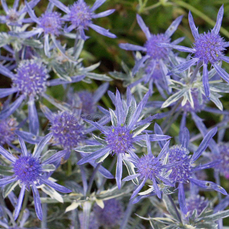 Eryngium Jade Frost. Sea Holly in a garden in August. Has masses of spiky blue thimble flowers royalty free stock photography