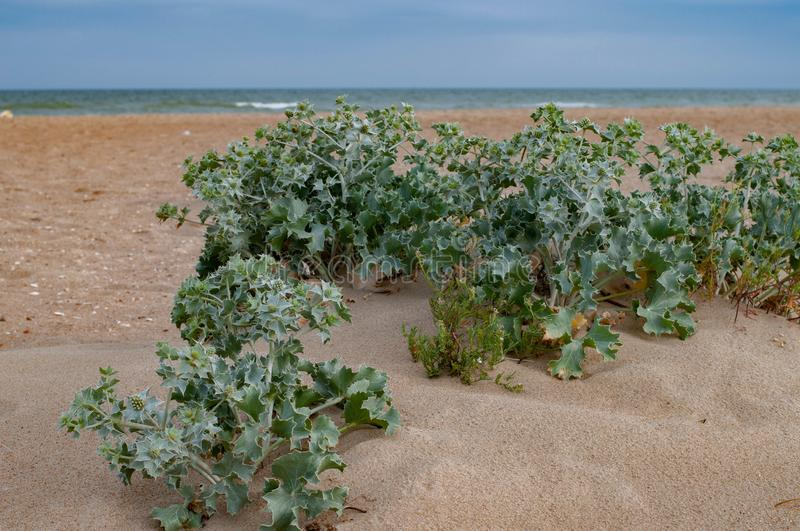 Eryngium plant bushes are growing on clean sand dunes of coastline. Fresh Feverweed plant bunches on sandy background. Summer nature. Seascape with desert stock images