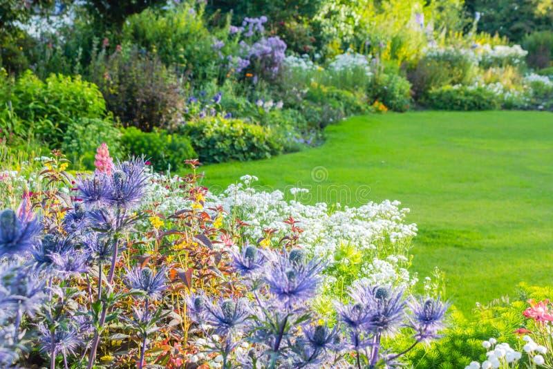 Eryngiumoliverianum, Overzeese Hulstbloem in de tuin royalty-vrije stock afbeeldingen