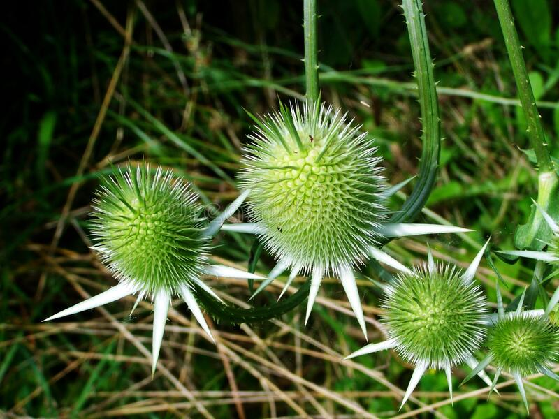 Eryngo flowers royalty free stock images
