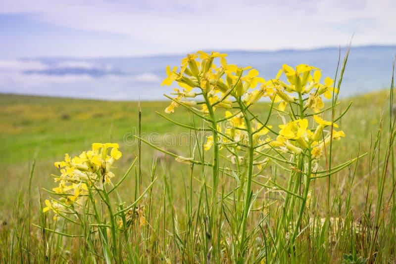 Erysimum franciscanum, allgemein bekannt als der Franziskanergoldlack oder San Francisco-Goldlack, endemisch für Kalifornien; kla stockfoto