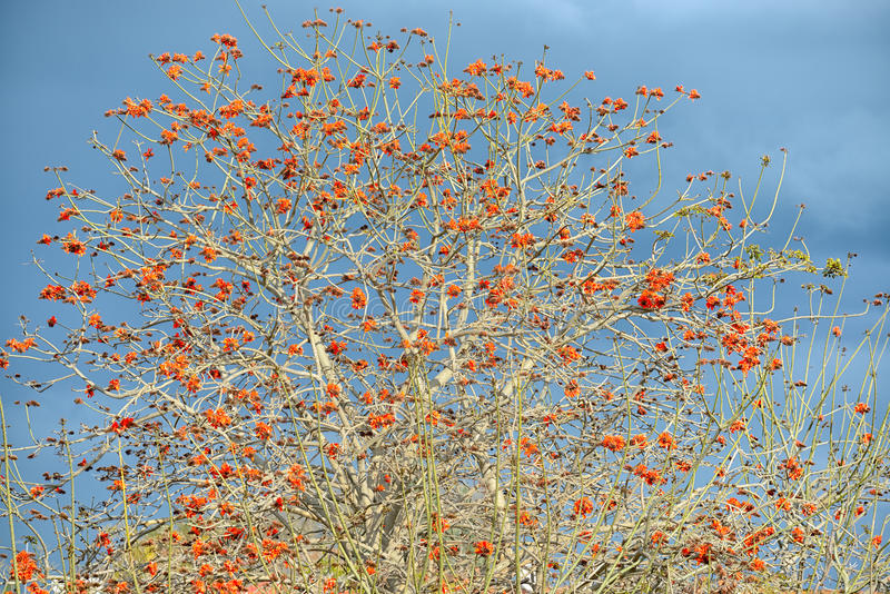 Erythrina caffra tree blossoming in Israel royalty free stock images