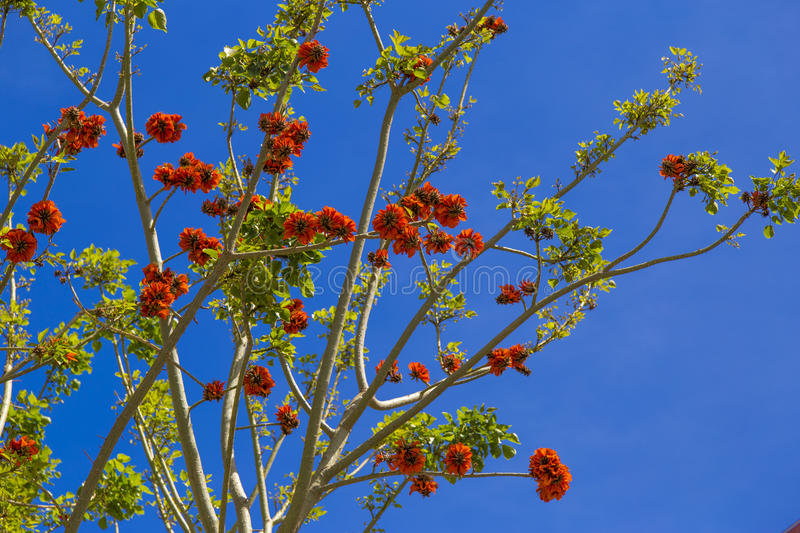 Erythrina (coral) trees in red blossom during clear sunny day in royalty free stock photo