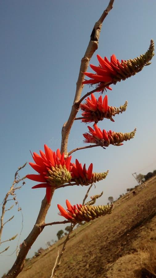 Erythrina Indica stockfotografie