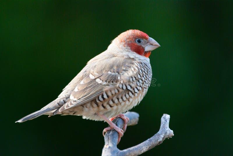 Erythrocephala Red-headed do amadina do passarinho imagem de stock