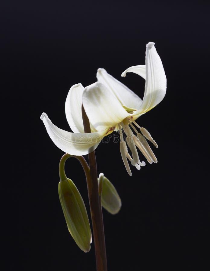 Erythronium royaltyfri bild