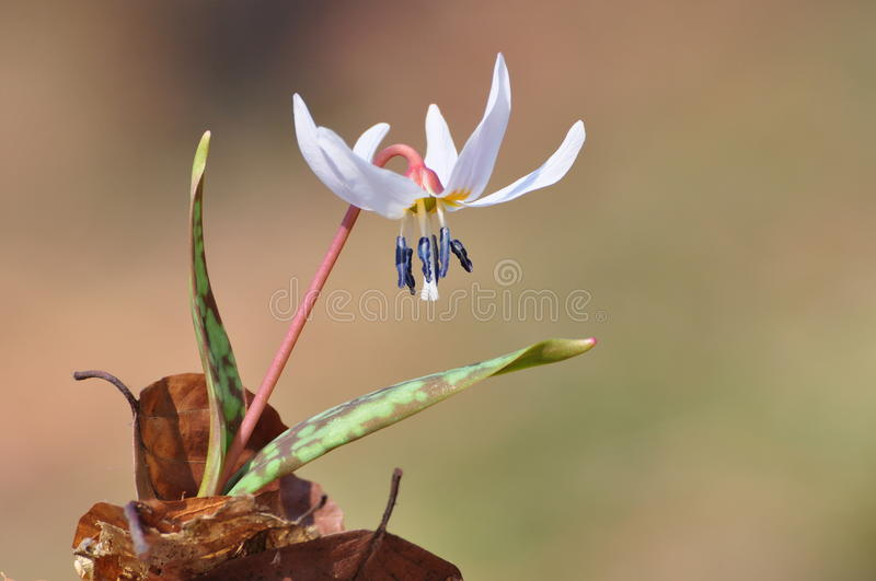 Erythronium dens canis royalty free stock images