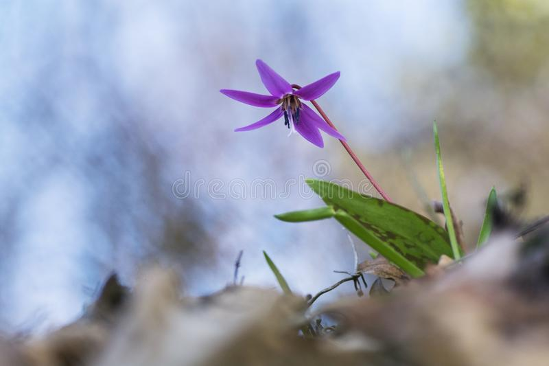 Erythronium dens-canis flower taken from a low angle perspective. Beautiful violet spring flower with blurred background. Erythronium dens-canis taken from a low royalty free stock photos
