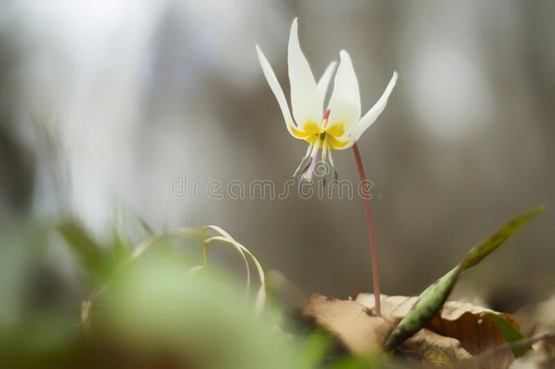 Spring wild flowers in the forest. Erythronium dens-canis produces a solitary white, pink or lilac flower at the beginning of spring. The petals growing to royalty free stock photography