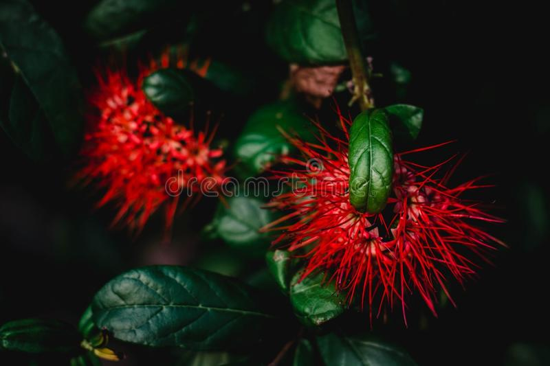 Erythrophyllum Burchell Sonder de Combretum image stock
