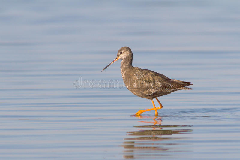 Erythropus manchado do Redshank/Tringa fotos de stock