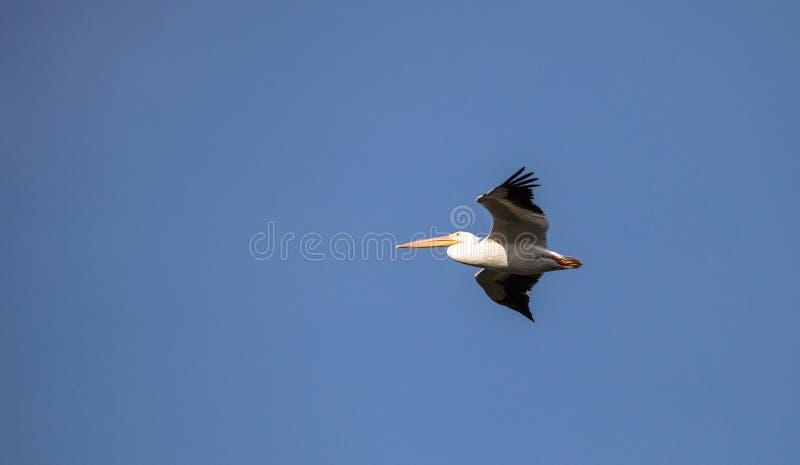 Erythrorhynchos för Pelecanus för vit pelikan för flyg amerikanska royaltyfria bilder