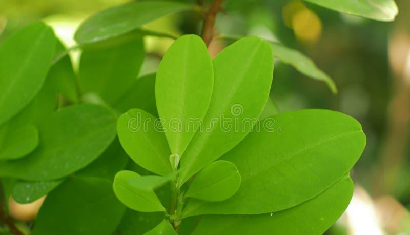 Erythroxylum koka, koka krzak w flowerpot w tropikalnej szklarni, liść i liście, zieleniejemy, nauki badanie, roślina fotografia royalty free