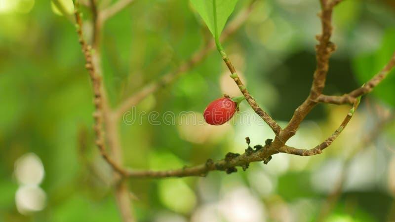 Erythroxylum koka, koka krzak w flowerpot w tropikalnej szklarni, nauki badanie, zasadza dojrzałą czerwoną owoc, liść i obraz royalty free