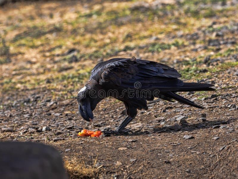 Erzrabe, Corvus crassirostris, in Simien-Bergen Nationalpark, Äthiopien stockfotografie