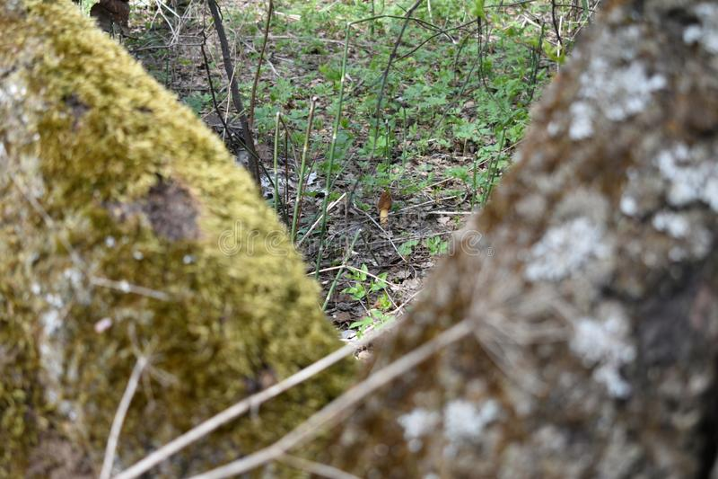 Es gibt einen kleinen einsamen Pilz zwischen Birken lizenzfreie stockbilder