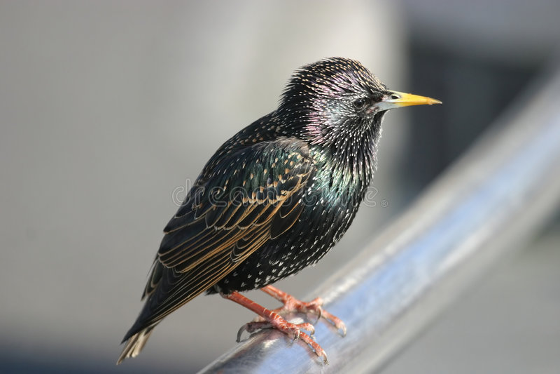 Es Ist Ein Starling, Liebling Stockbilder
