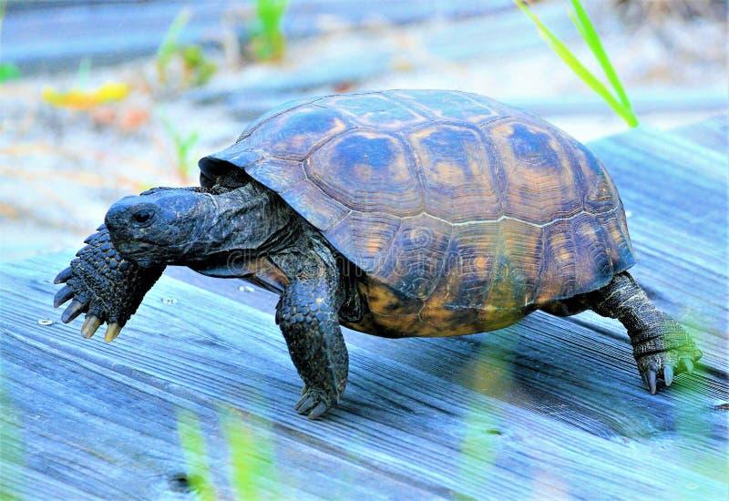 Es schaut, als wenn die Dosenschildkröte die Hasen läuft, während sie entlang eine Strandpromenade geht stockbilder