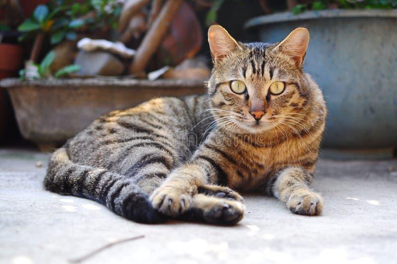 Es un gato poderoso que me mira Es poderoso, feroz y chispa como un león fotografía de archivo libre de regalías