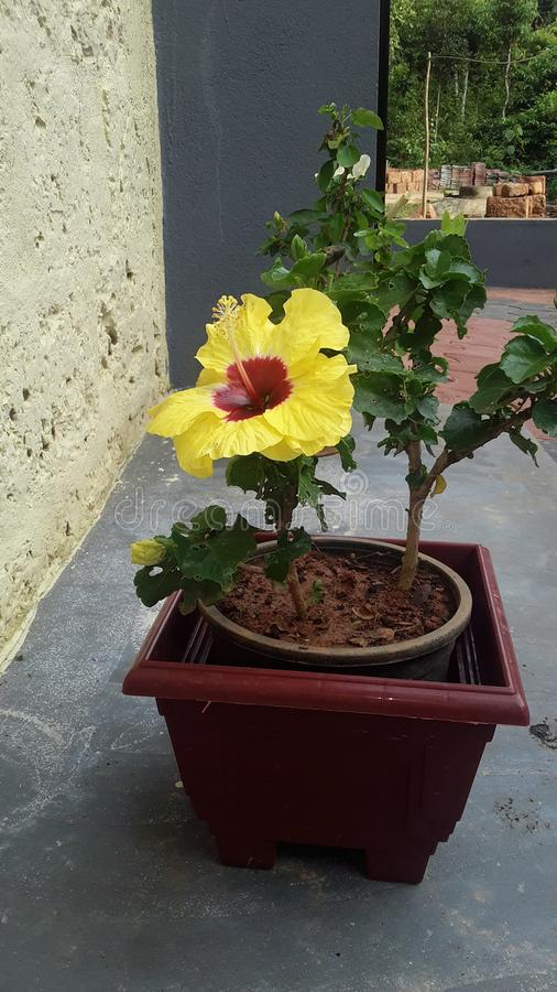 Es una flor estupenda con el pote foto de archivo