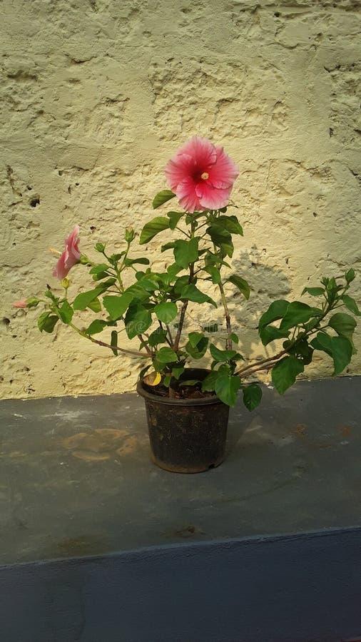 Es una flor estupenda con el pote imágenes de archivo libres de regalías