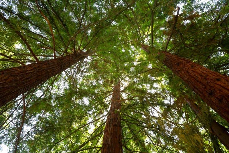 Esaminando in su gli alberi del Redwood fotografia stock