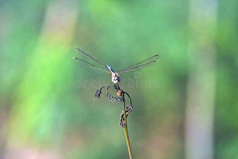 Esaminandovi libellula fotografie stock