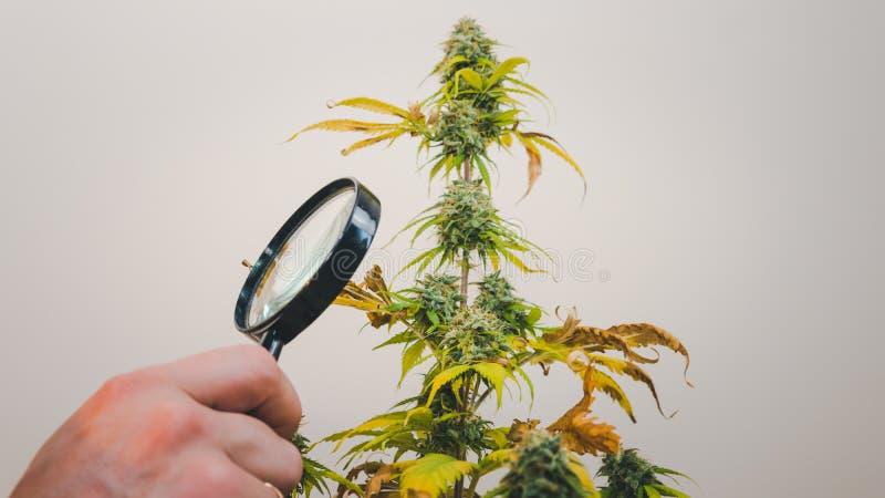 Esamini i germogli medici della marijuana con la lente d'ingrandimento Raccolto fresco della pianta della cannabis che cresce all fotografie stock