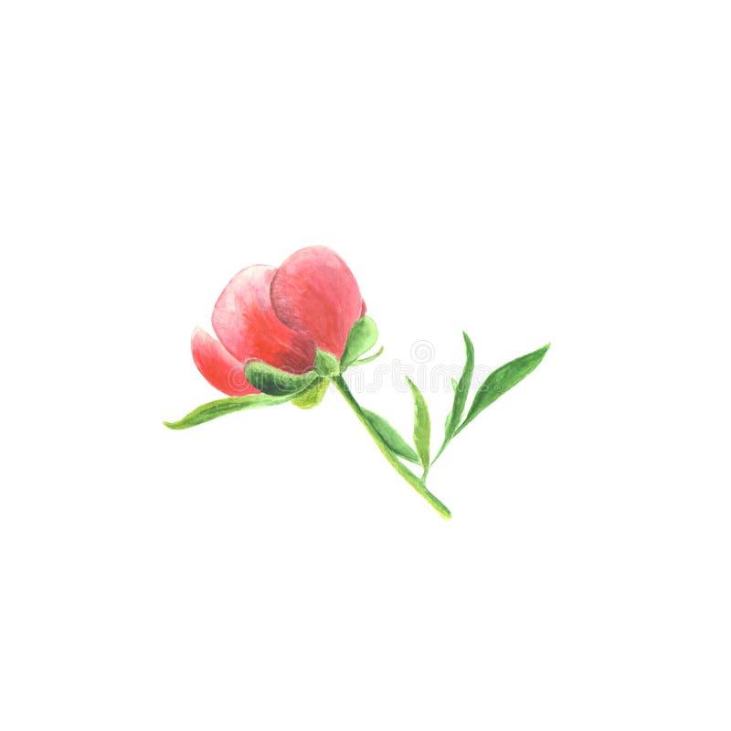 Esboço botânico da ilustração da aquarela da peônia cor-de-rosa com as folhas no fundo branco ilustração stock