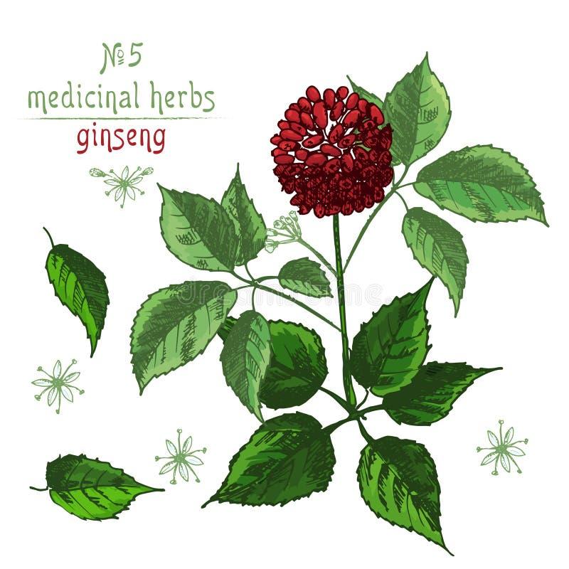 Esboço botânico realístico da cor da raiz, das flores e das bagas do ginsém isoladas no branco coleção floral das ervas ilustração stock