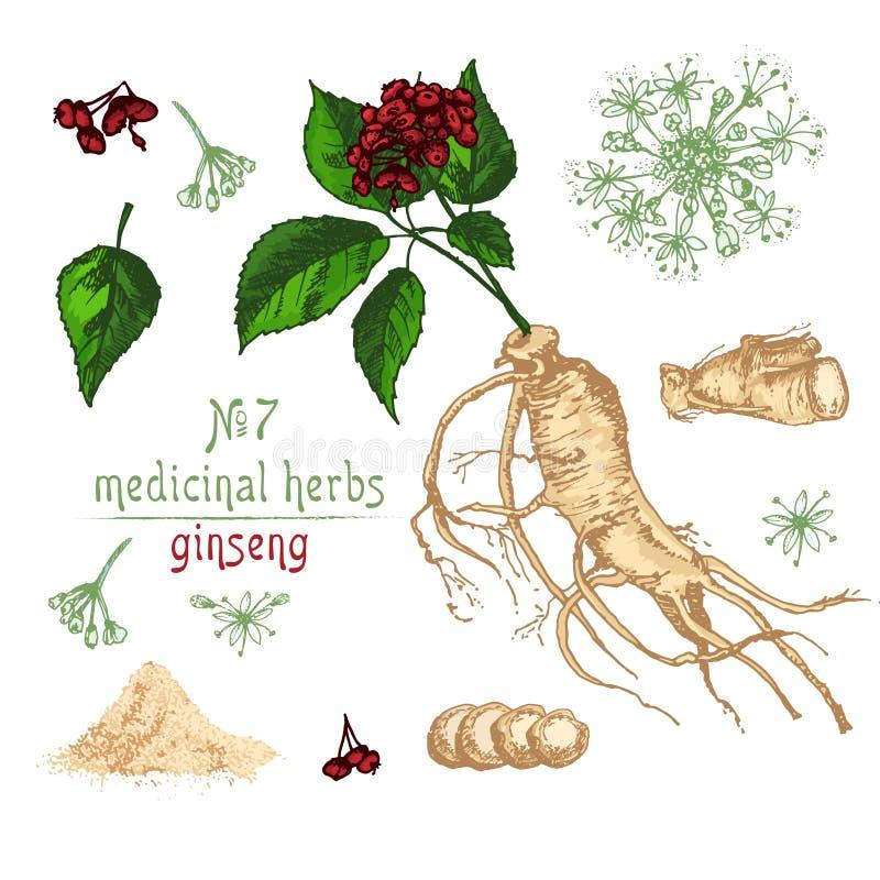 Esboço botânico realístico da cor da raiz, das flores e das bagas do ginsém isoladas no branco coleção floral das ervas ilustração royalty free
