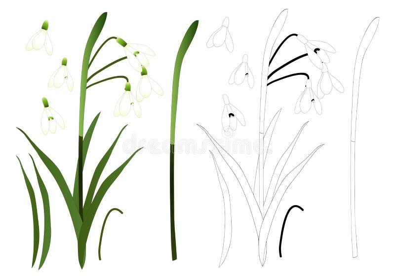 Esboço branco da flor de Snowdrop Isolado no fundo branco Ilustração do vetor ilustração do vetor