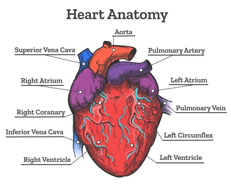 Esboço colorido anatomia do coração ilustração do vetor