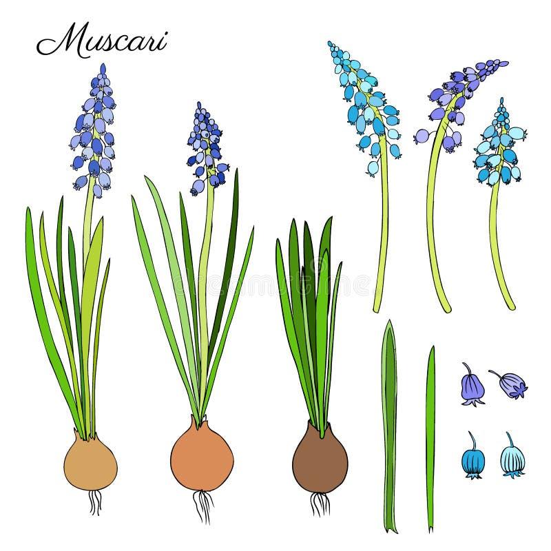 Esboço colorido tirado mão da garatuja das flores do Muscari no wh ilustração do vetor