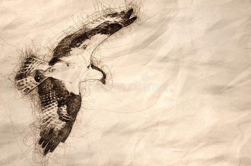 Esboço da caça solitária da águia pescadora na asa fotos de stock royalty free