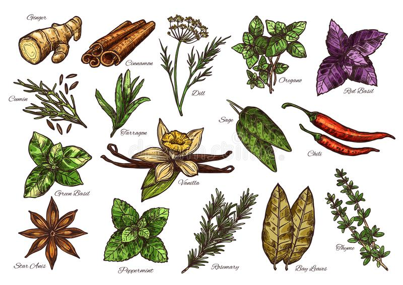 Esboço da especiaria e da erva do condimento fresco com nome ilustração do vetor