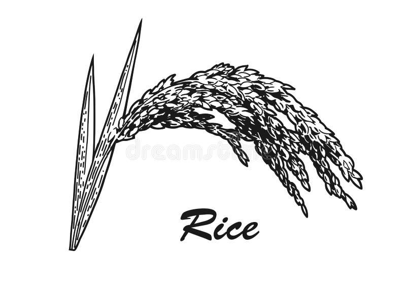 Esboço da planta de arroz ilustração royalty free