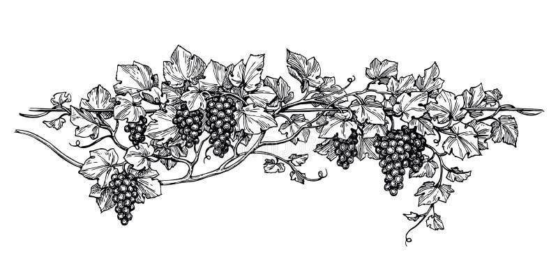 Esboço da tinta da vinha ilustração do vetor