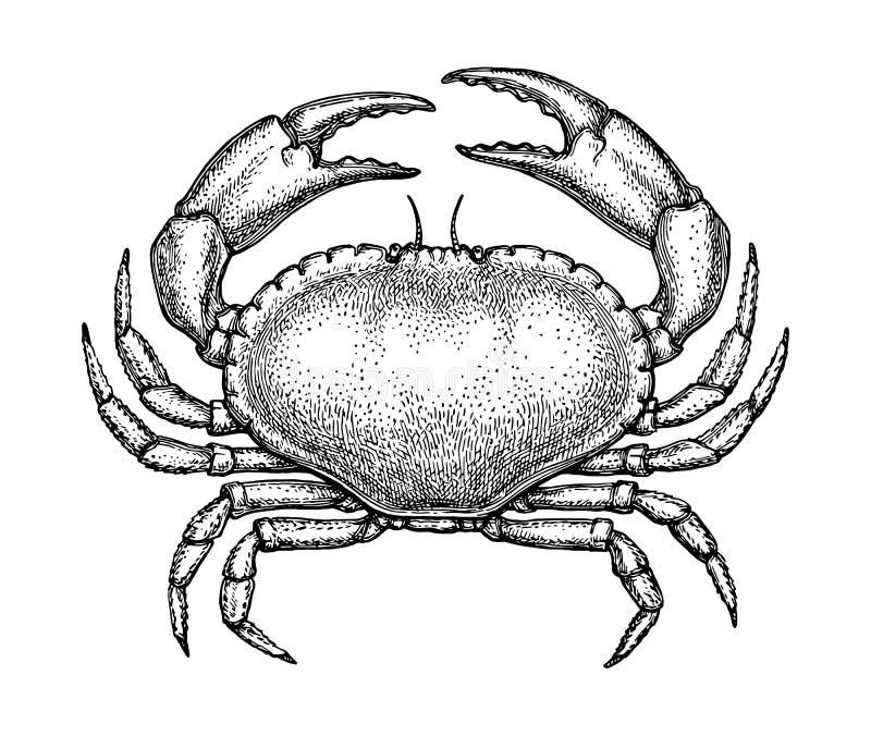 Esboço da tinta do caranguejo comestível ilustração stock