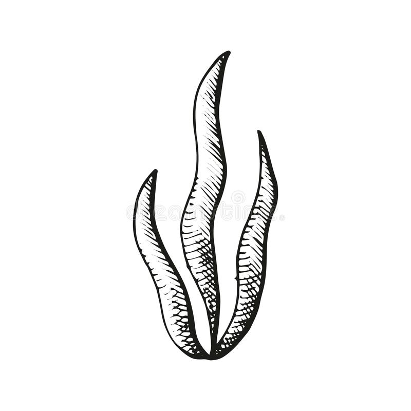 Esboço das algas ilustração stock