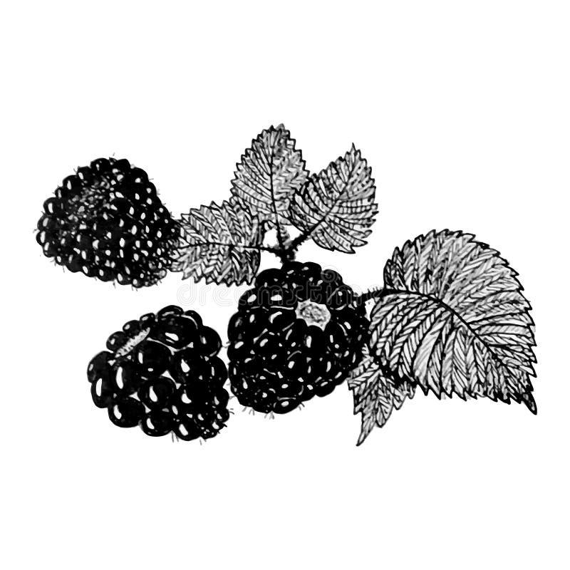 Esboço de Blackberry ilustração royalty free