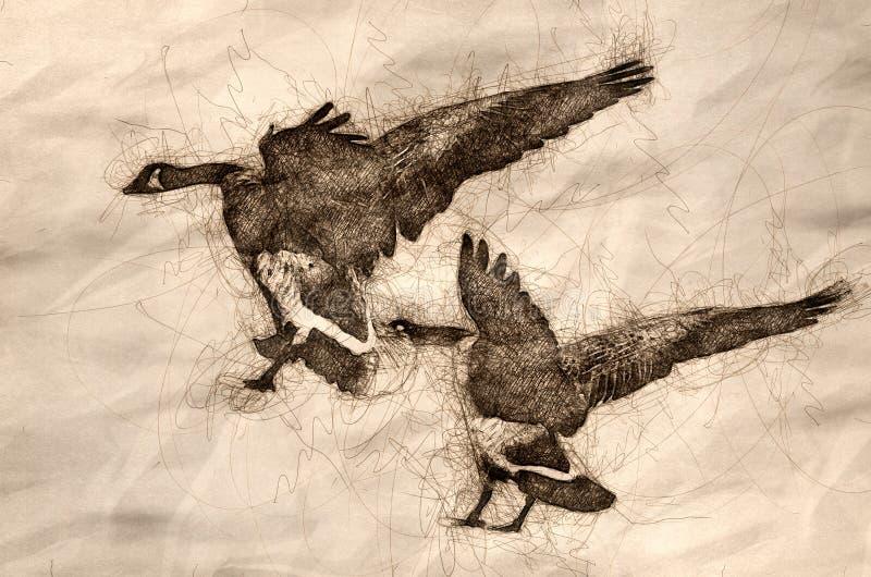Esboço de dois gansos de Canadá que aterram na água imóvel azul ilustração stock