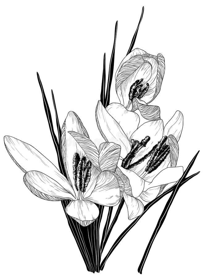 Esboço de flores de florescência do açafrão ilustração royalty free