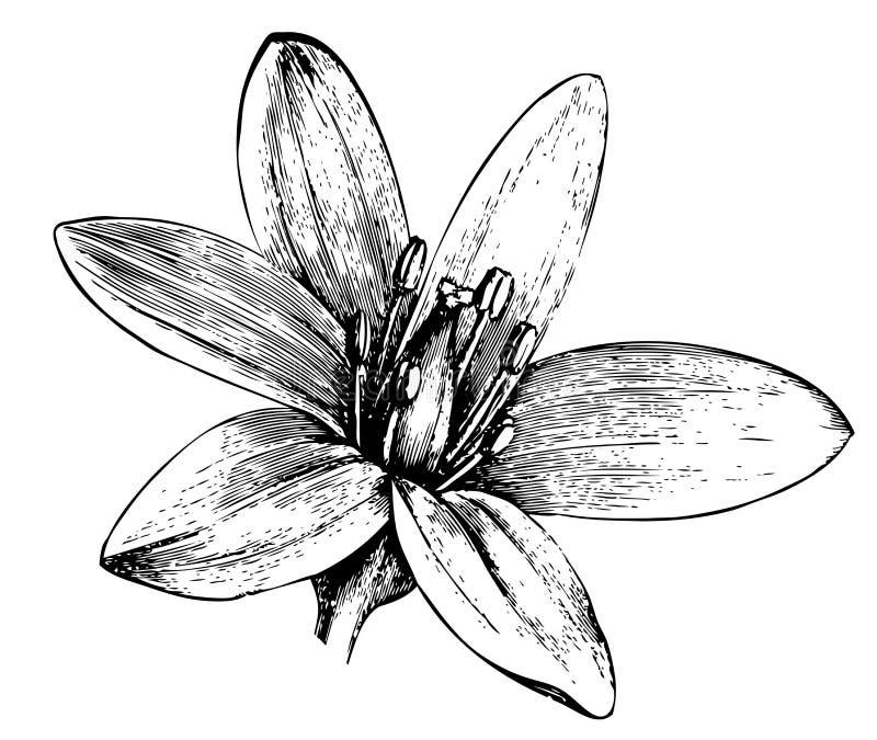esboço detalhado da flor ilustração do vetor