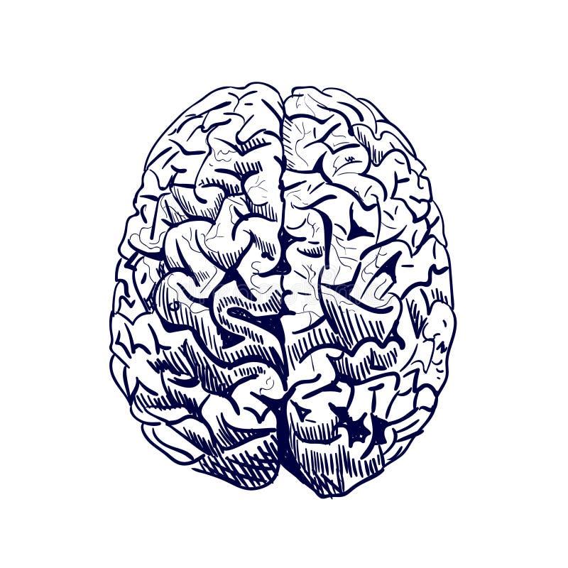 Esboço do cérebro Cérebro humano tirado mão colorido VETOR Front View Linha trabalho, azul ilustração stock