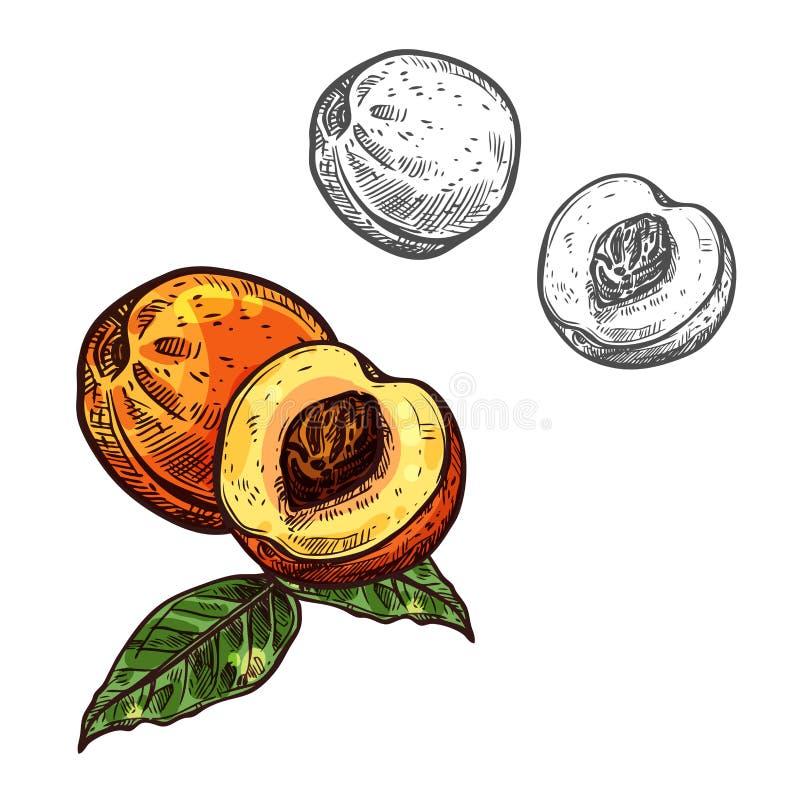 Esboço do fruto do pêssego da nectarina com folha verde ilustração royalty free